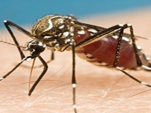 Lessons learned from the successful fight to contain Ebola can be applied to the fight against the Zika virus. Shown here is a common American mosquito that can carry the Zika virus. Photo credit: Day Donaldson, Flickr, Creative Commons.